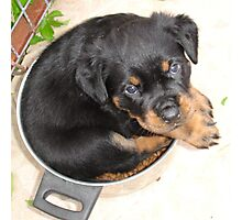 Female Rottweiler Puppy Curled In A Food Bowl Photographic Print