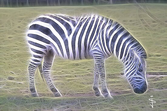 Zebra by Jan Szymczuk