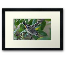 Spotted Pardalote. Framed Print