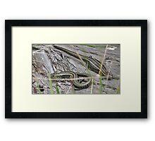 Swamp Skinks. Framed Print