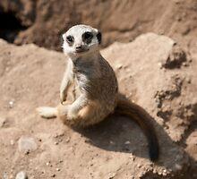 Hello Meerkat! by sallyrose1