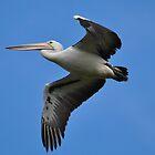 Australian Pelican. by TootgarookSwamp