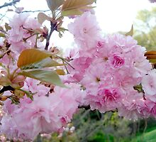 Blossoms by Iva Penner