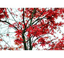 Red Maple of love & hope Photographic Print