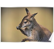 baby wallaby Poster
