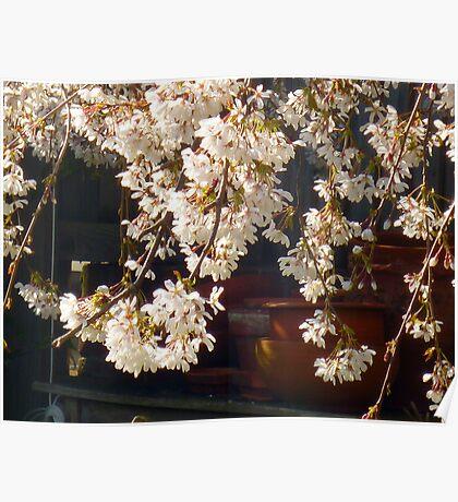 Flower pots & Cherry blossoms  Poster