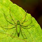 Green Lynx Spider by Paul Wolf