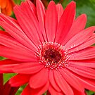 Gerbera Daisy  by Ellen  Price - Greenwald