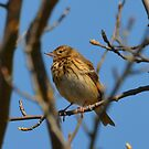 Tree pipit by Peter Wiggerman
