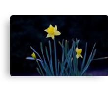 Lone Daffodil Canvas Print