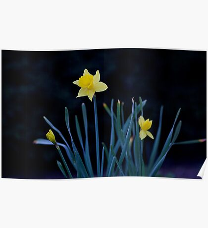 Lone Daffodil Poster