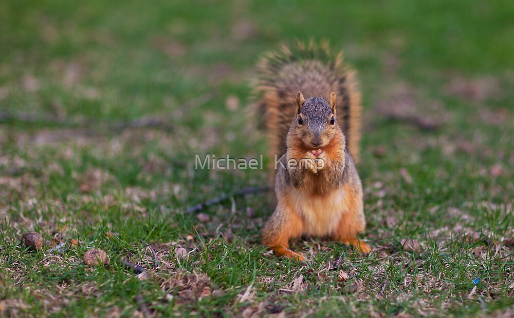 Squirrel Snacking by Michael  Kemp