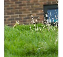 Green Woodpecker! Photographic Print