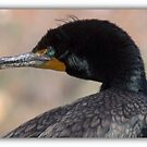 Doubled-crested Cormorant 2 of 6 by Betsy  Seeton