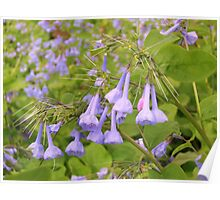 Wild Virginia Bluebells Poster