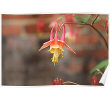 Eastern red columbine Poster