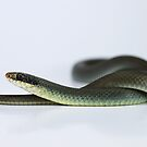 Blue Racer (Coluber constrictor foxii) by Seth LaGrange