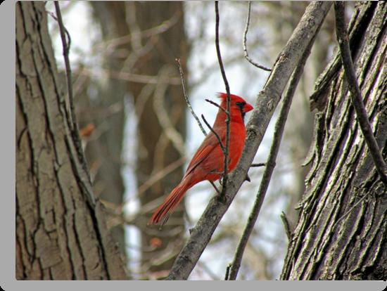 Royal Redbird by Greg Belfrage