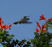 Hummingbird Photographs by Roxiep
