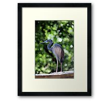 Blue Heron perched Framed Print