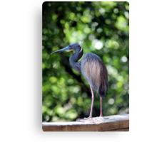 Blue Heron perched Canvas Print