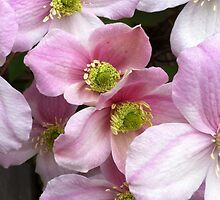 Light Pink Flowers by Nadine Staaf