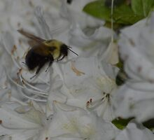 Bumble bee and Azalea by msegall