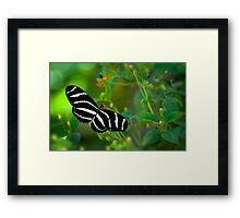 A Zebra Longwing Butterfly  Framed Print