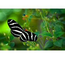 A Zebra Longwing Butterfly  Photographic Print