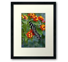 A Zebra Longwing on Lantana  Framed Print