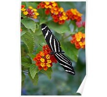 A Zebra Longwing on Lantana  Poster