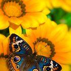 Buckeye Butterfly in all it's Beauty  by Saija  Lehtonen