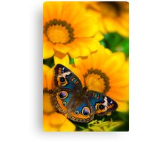 Buckeye Butterfly in all it's Beauty  Canvas Print