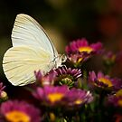 Cloudless Sulphur Butterfly  by Saija  Lehtonen