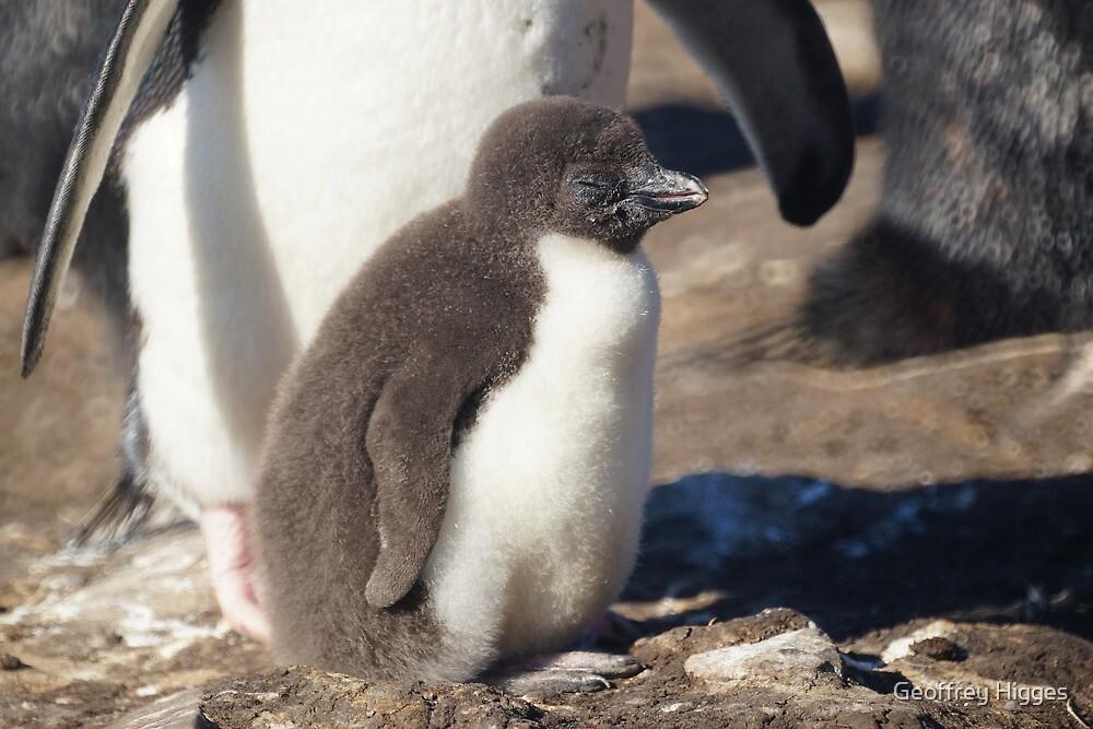 Rockhopper Penguin Chick, Falkland Islands by Geoffrey Higges