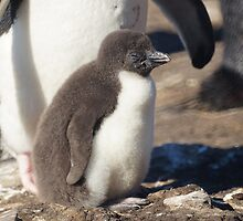 Rockhopper Penguin Chick, Falkland Islands by Geoffrey Higges