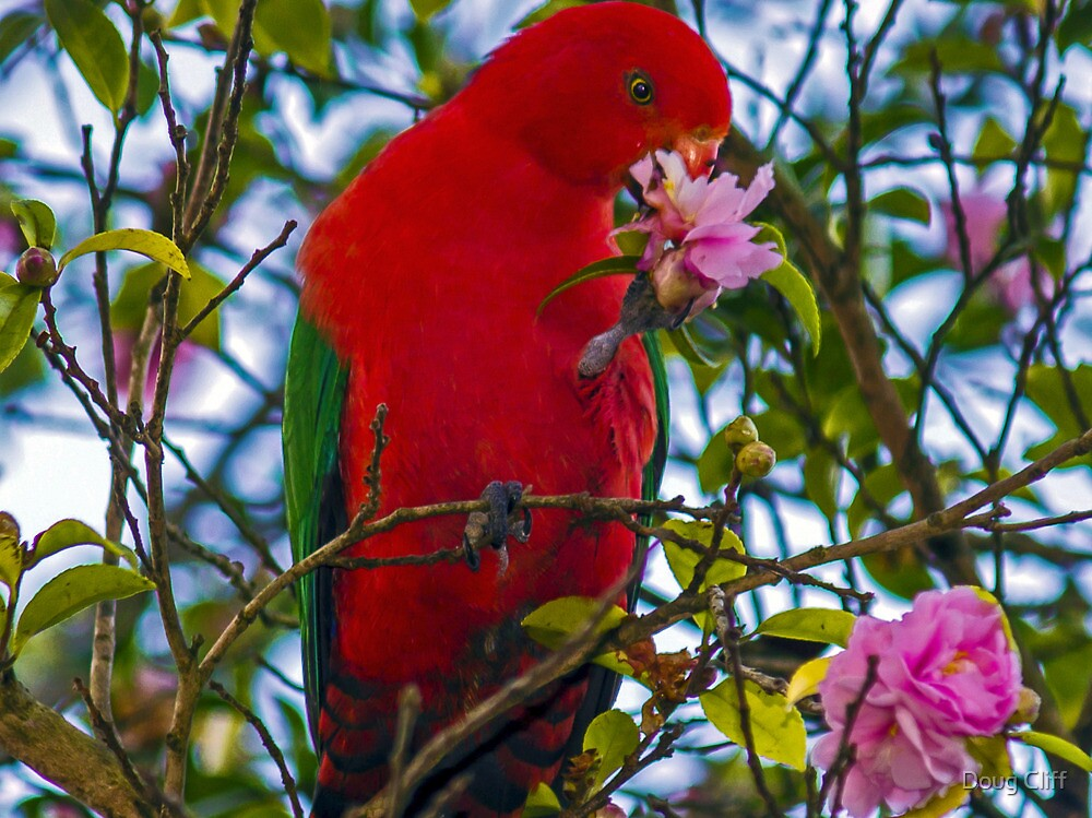 King Parrot in the camellia by Doug Cliff
