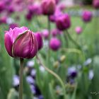 Tulip Garden by Kathy Weaver