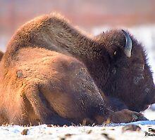 "Prairie Dream'n - American Bison by Michael "" Dutch "" Dyer"