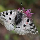 Apollo or Mountain Apollo butterfly  by PhotoStock-Isra