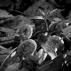 Fiddleheads_BW by Hope Ledebur