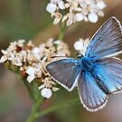 Eastern Baton Blue butterfly  by PhotoStock-Isra