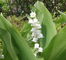 Lily Of The Valley by James Brotherton