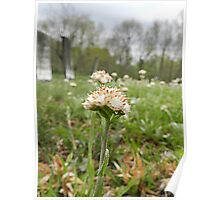 Pussytoes or Early Everlastings ( Antennaria) Poster