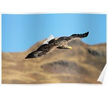 White Tailed Eagle Poster