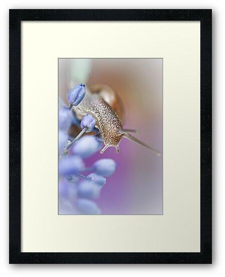 Snail on Grape Hyacinths by Bob Daalder
