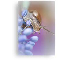 Snail on Grape Hyacinths Canvas Print