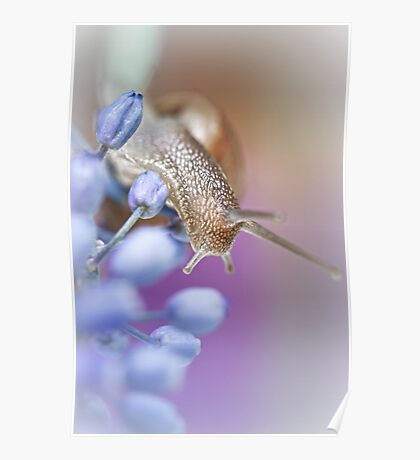 Snail on Grape Hyacinths Poster