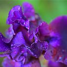 Purple Macro by Chet  King