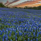 Bluebonnet Pictures - Sunset over a Bluebonnet Field by RobGreebonPhoto